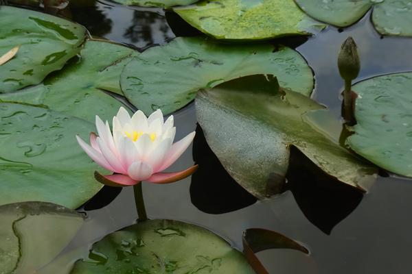 雨上がりの睡蓮の花