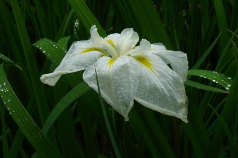 雨上がりの花菖蒲の花