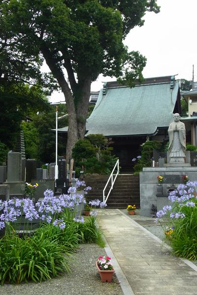 小田原市板橋生福寺のアガパンサスの花