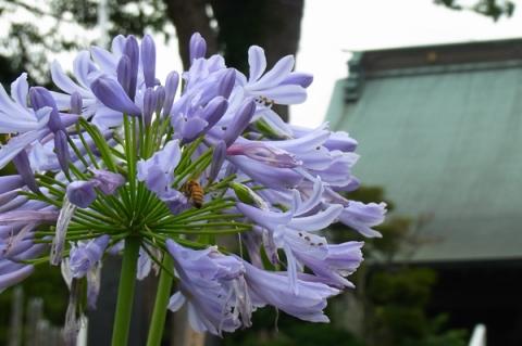 アガパンサスの花と蜂