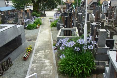 小田原市板橋生福寺に咲くアガパンサス