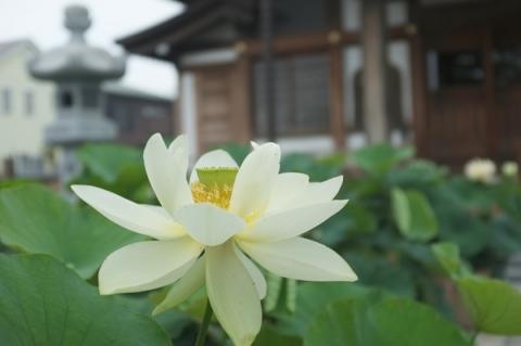 蓮華寺の蓮の花