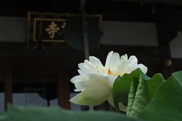 小田原市蓮華寺の蓮の花