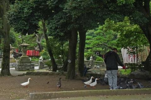 平塚八幡宮のアヒルと鳩
