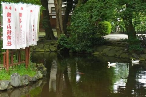 平塚スナップ 八幡宮のアヒル