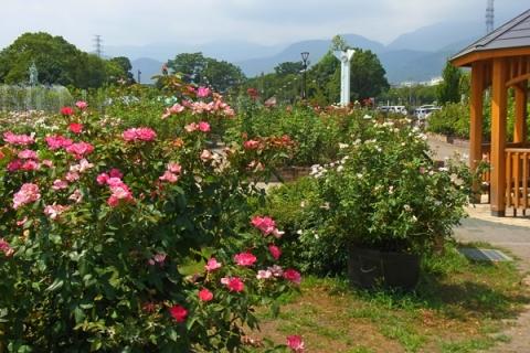 秦野カルチャーパークの夏バラ