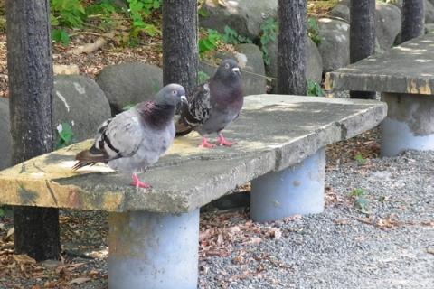 小田原スナップ ベンチに居座る鳩