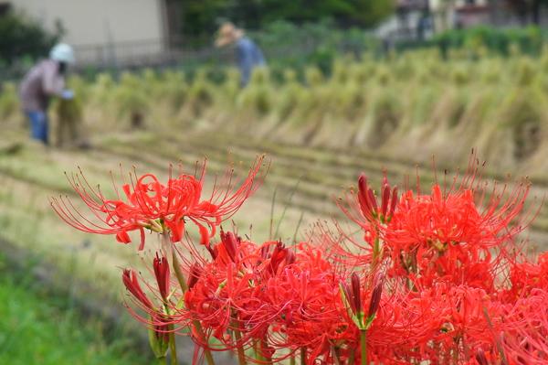 彼岸花と農作業