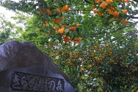 上府中公園の金木犀