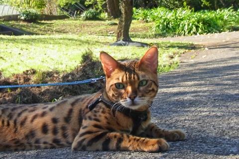 小田原フラワーガーデンを散歩中の猫