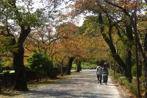 桜紅葉のトンネル