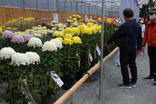 菊花展で展示された菊