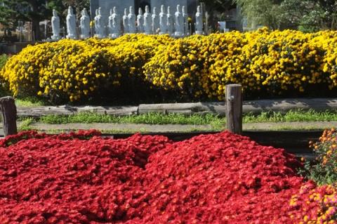 境内に植えられたざる菊