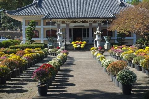 小田原総世寺のざる菊