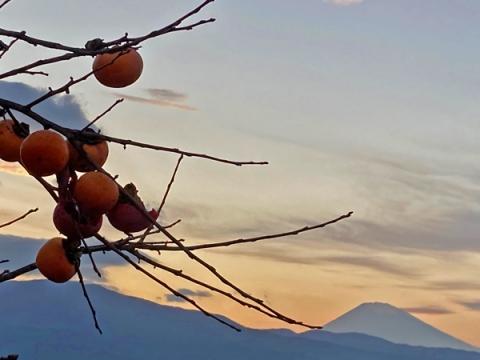 柿の実と富士山