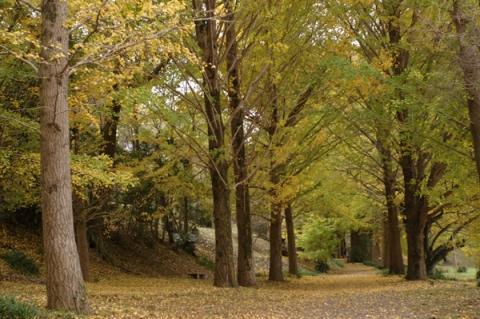 大井町ビオトピアのイチョウ並木
