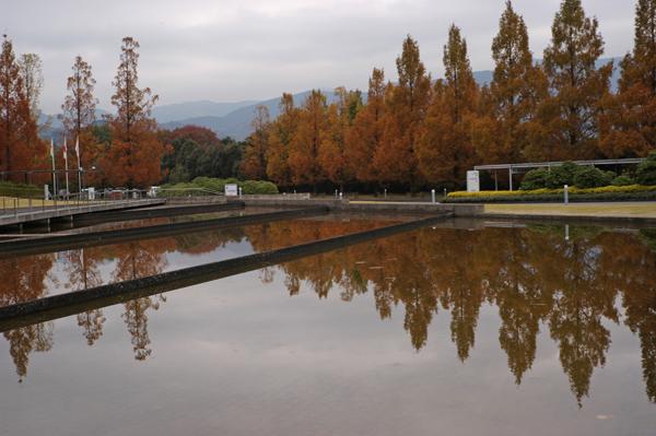 メタセコイアの池への映り込み