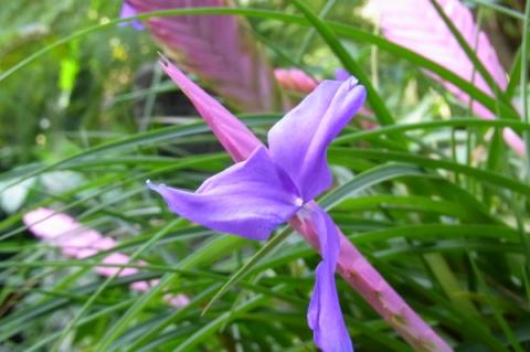 ハナアナナスキアネアの花