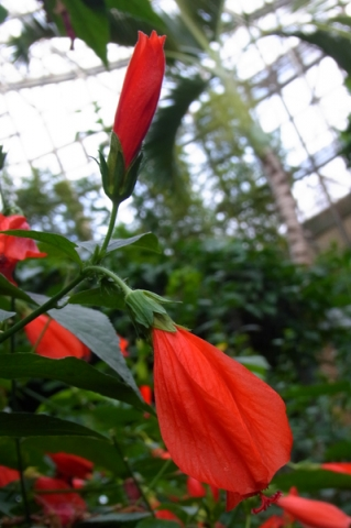 ウナズキヒメフヨウの花
