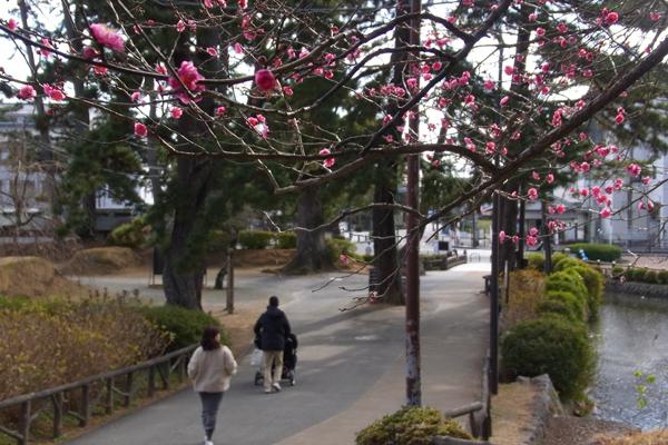 小田原城址公園の紅梅