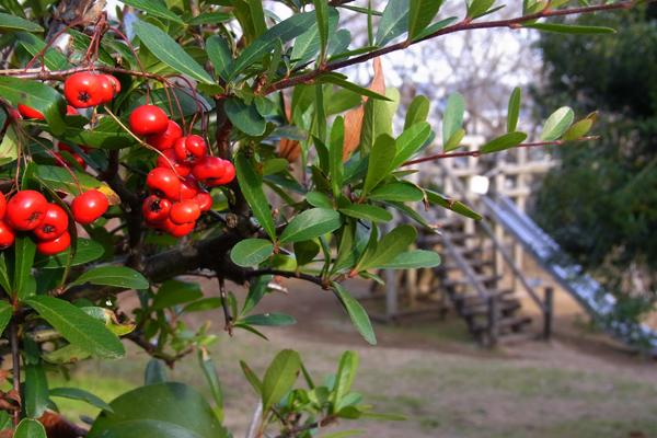 ピラカンサスと思われる木の実