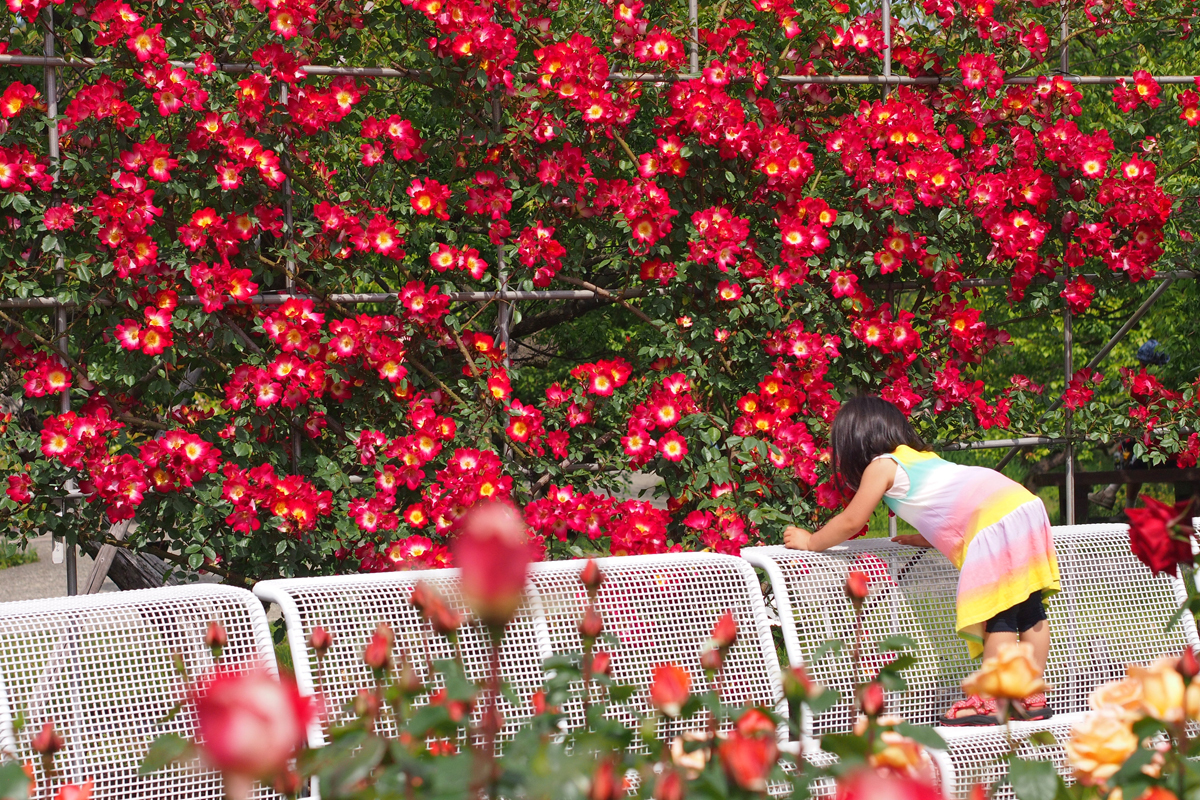 小田原スナップ フラワーガーデンでバラの匂いを嗅ぐ少女