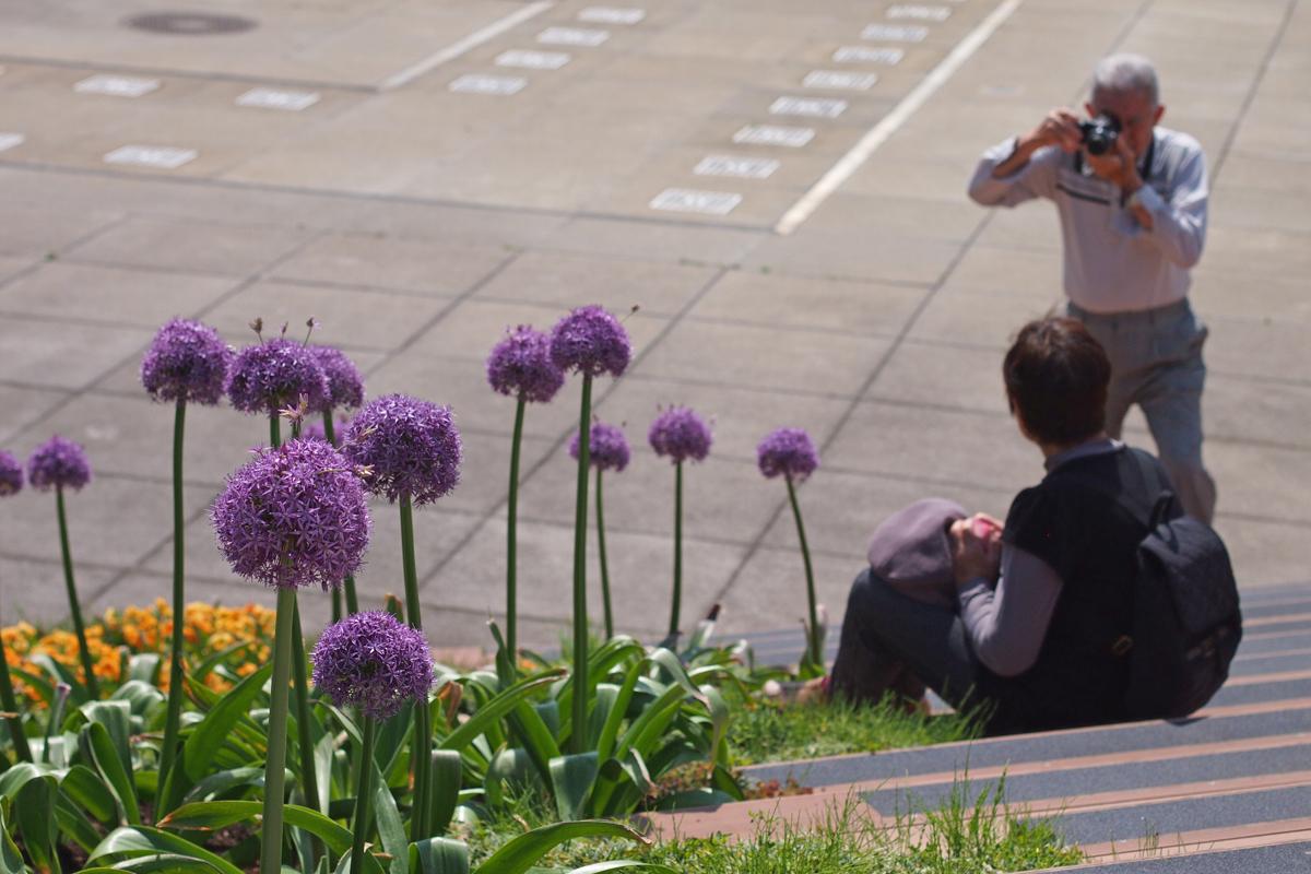 小田原フラワーガーデンの紫色のネギ坊主アリウムグローブマスター