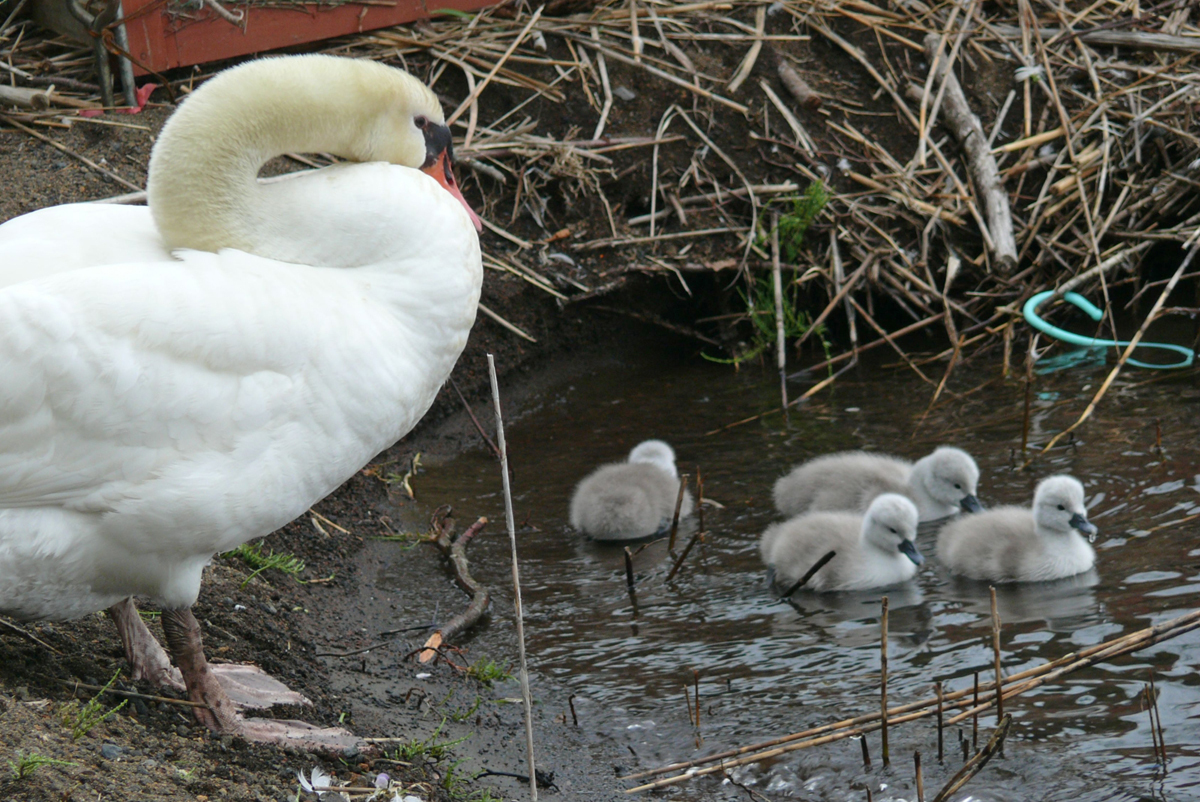 山中湖の白鳥の親子