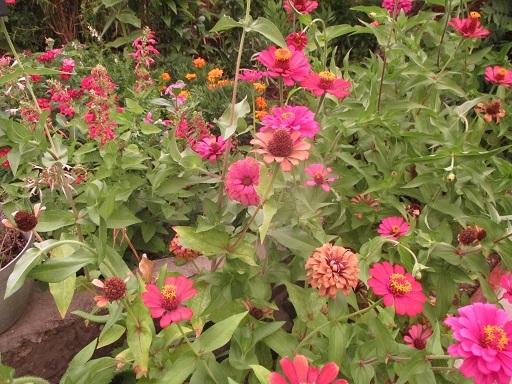 ヒャクニチソウ花壇