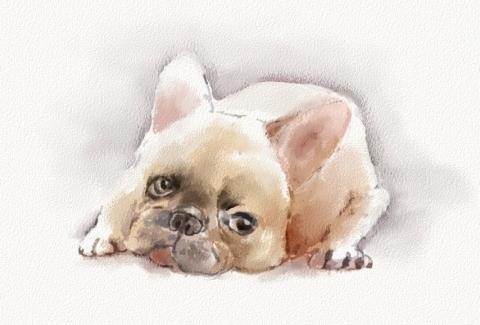 ブルドック1子犬_