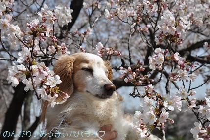 sakura20200308.jpg