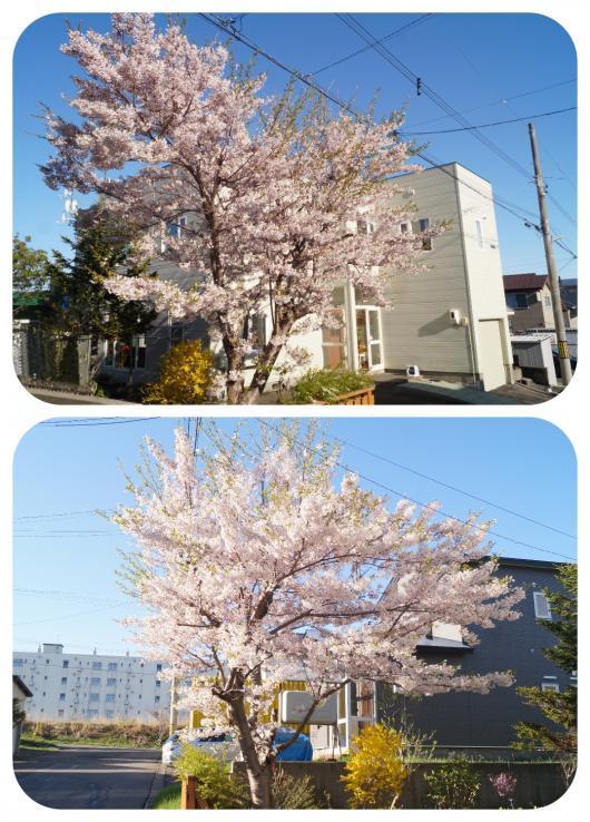 桜1(1)