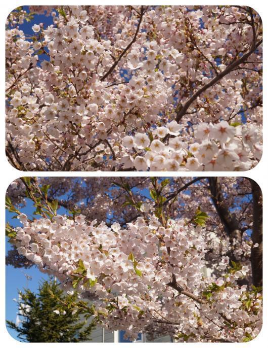 桜2(1)