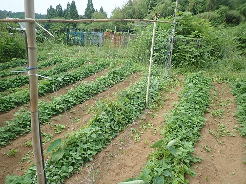 2020,6,6菜園8