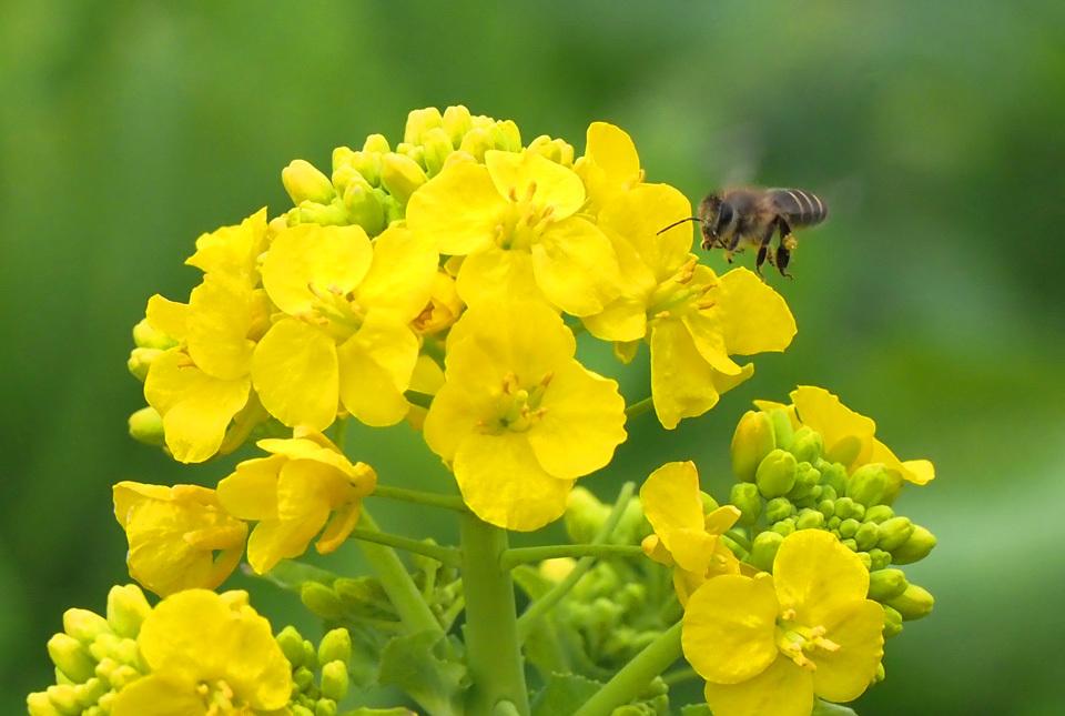 3149 菜の花と蜂 960×645