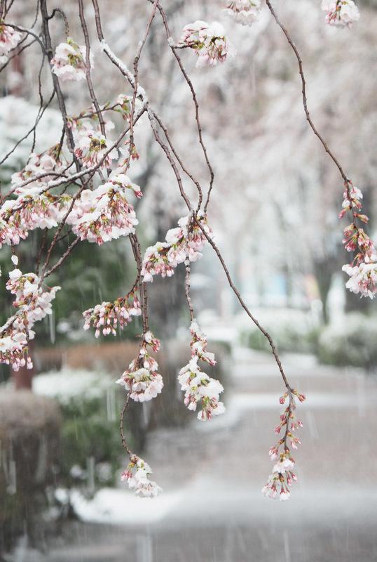 5243 桜花に名残雪 538×800