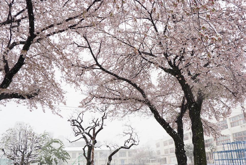 5486 校庭の桜 960×645