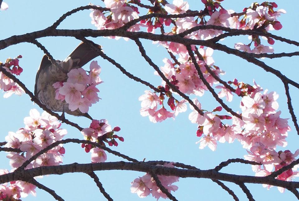 4604 陽光桜 960×645