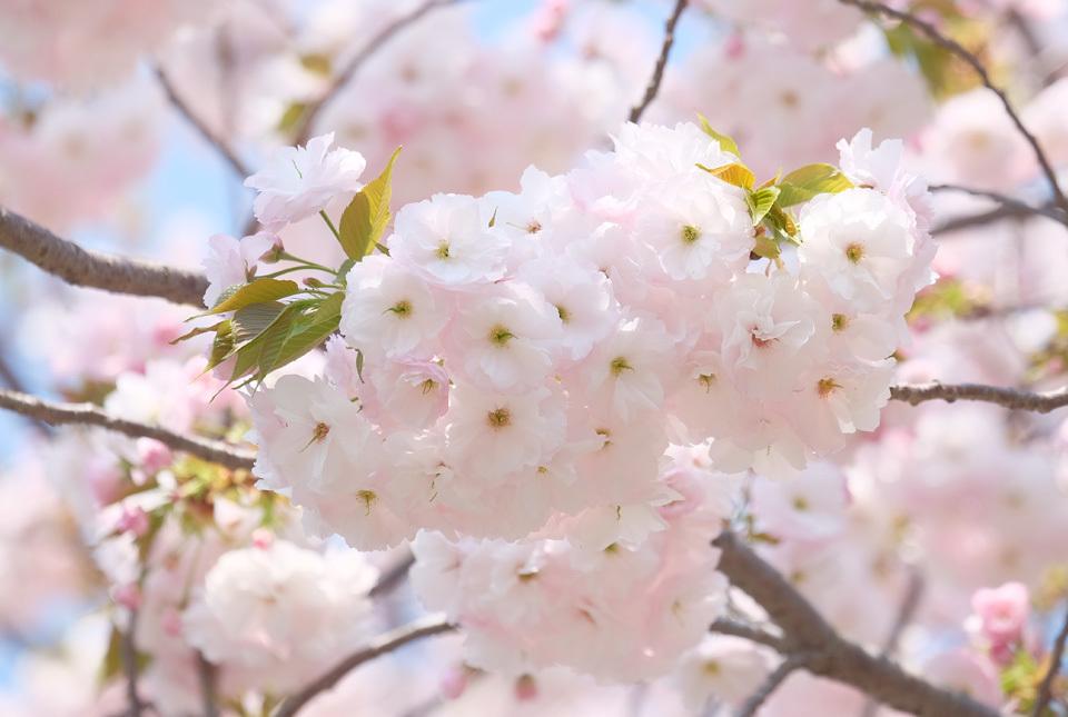 200409-7903 ご近所の八重桜 960×645