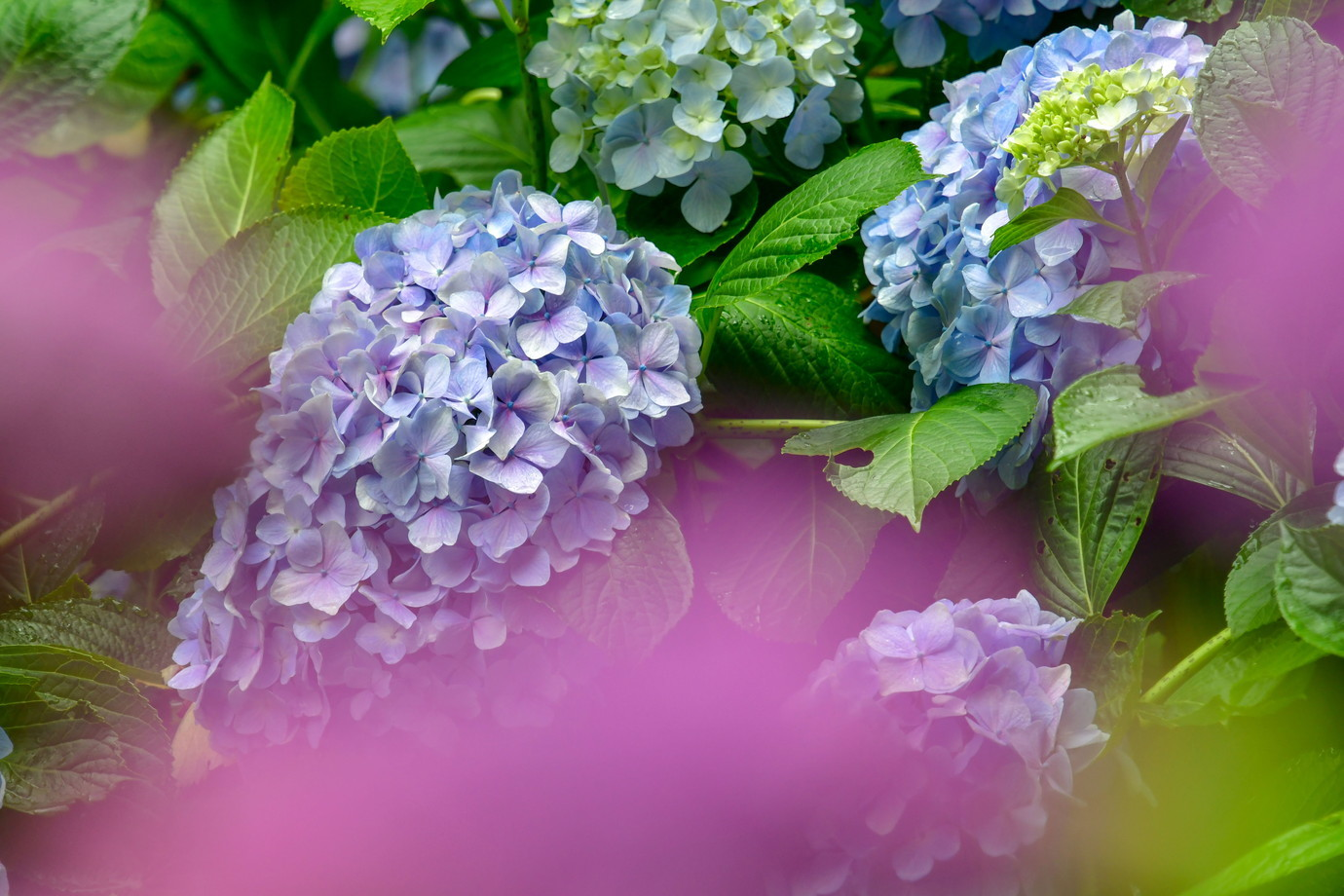 6紫陽花D50_2409_edited