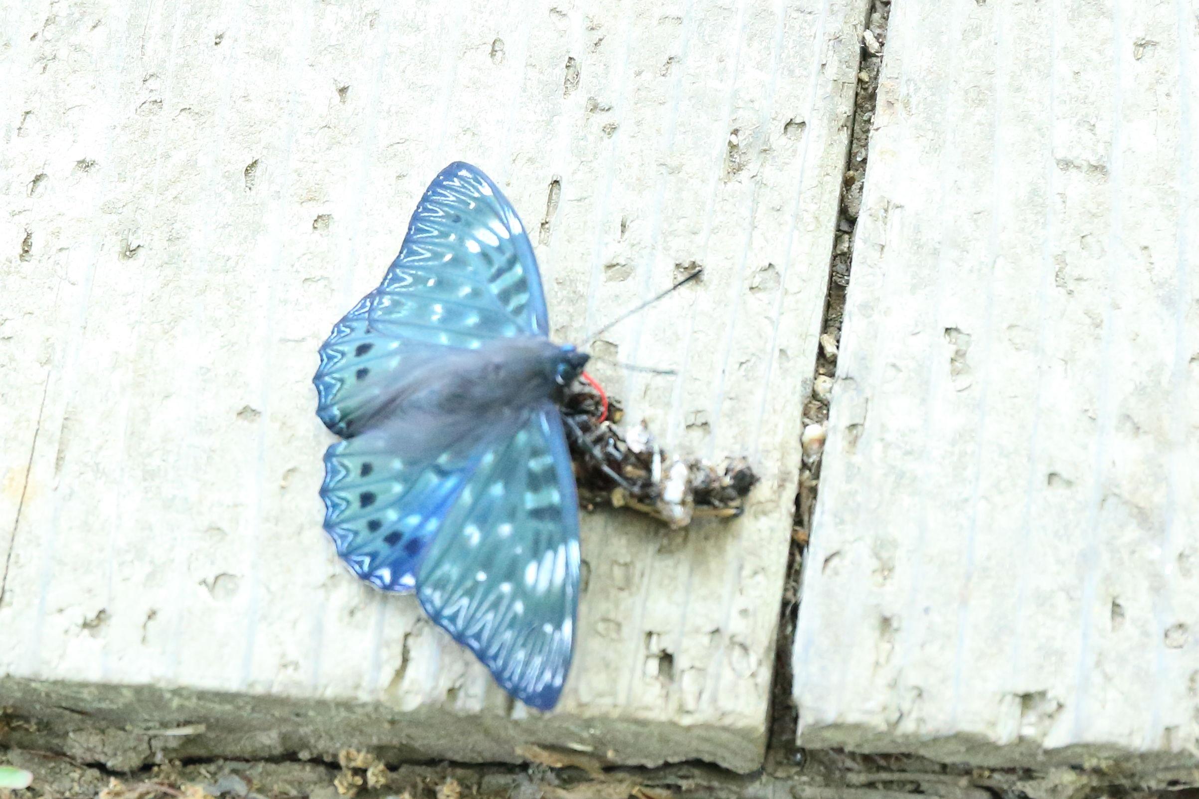 111蝶か蛾か.jpg
