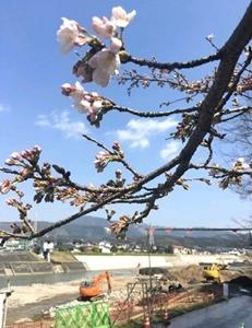 桜がほころぶ