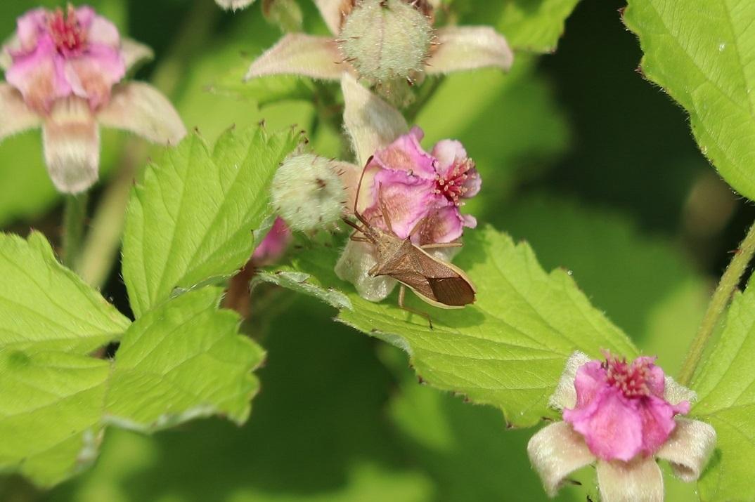 ホソハリカメムシ ナワシロイチゴ