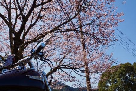 ぴーきち&ダイナ 紀伊半島ツーリング 三重県熊野市 丸山千牧田 桜