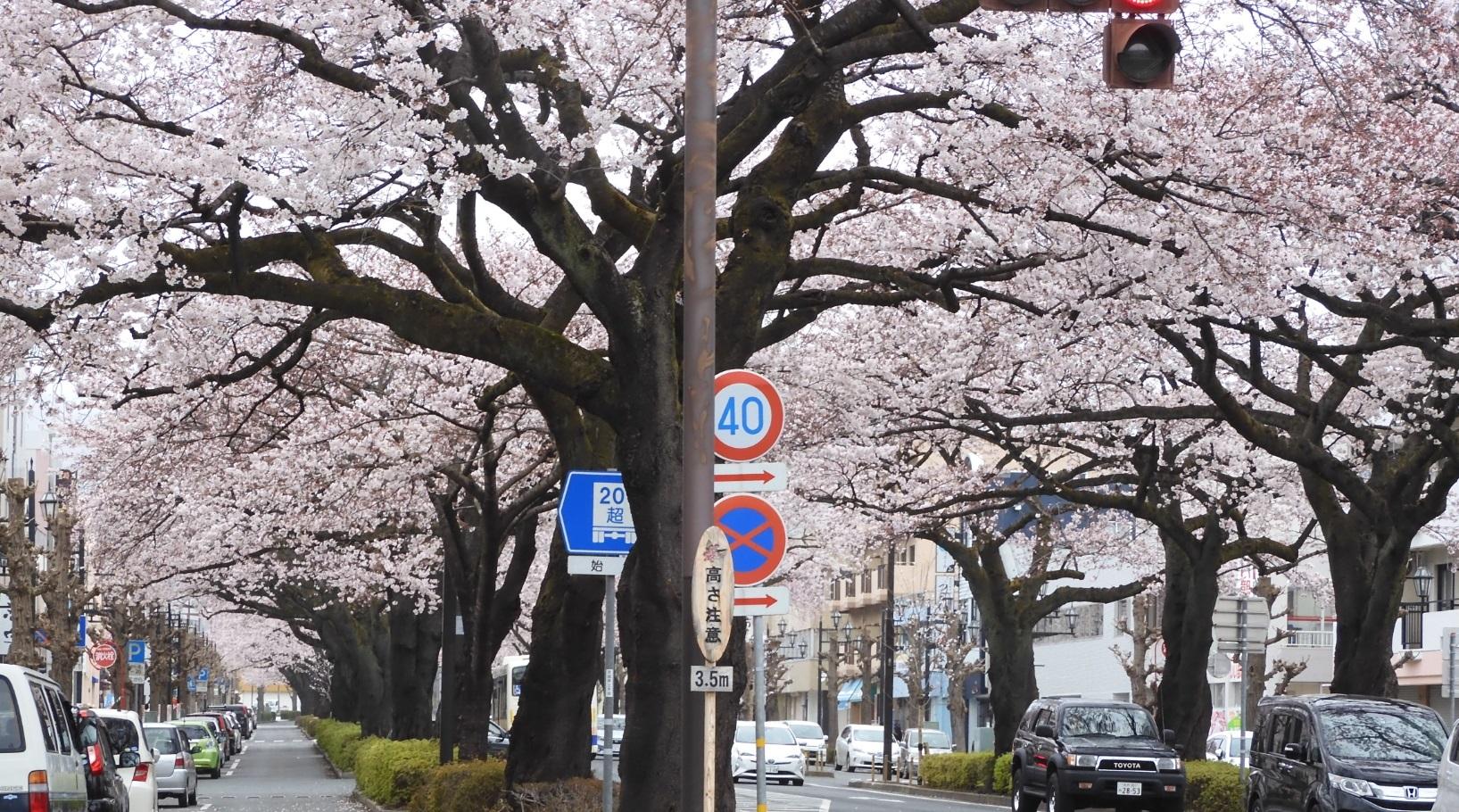 日立駅前の桜2020_2