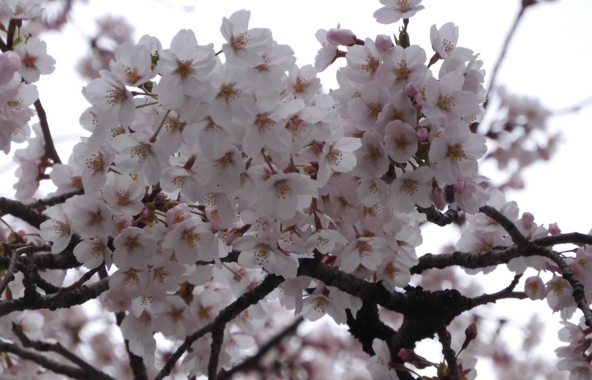 日立駅前の桜2020_3