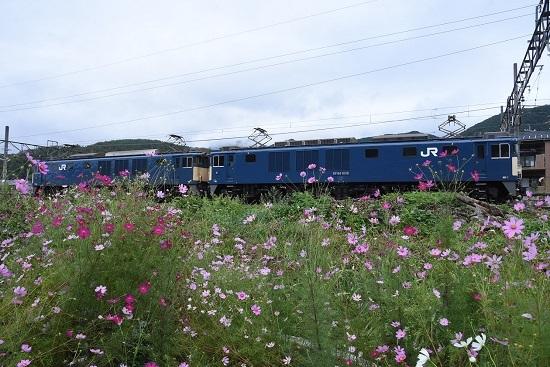 2020年9月19日撮影 篠ノ井線8467レ 聖高原駅にてヒスモスの花と