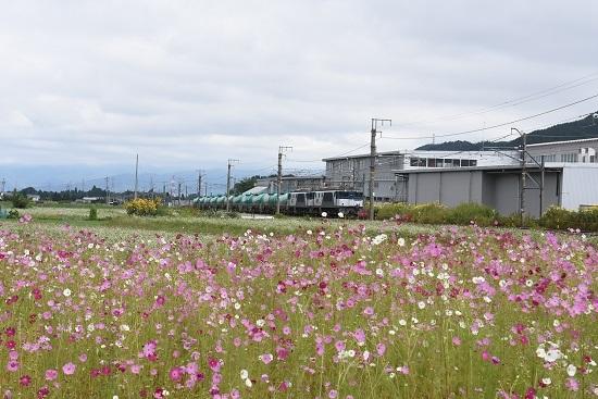 2020年9月19日撮影 西線貨物8084レ 蕎麦の花とコスモス