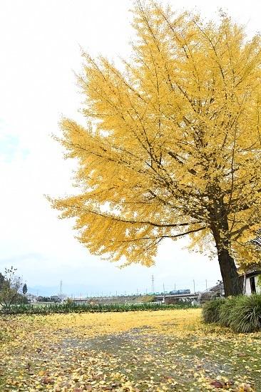 2020年11月7日撮影 東線貨物2084レ EH200と銀杏の木