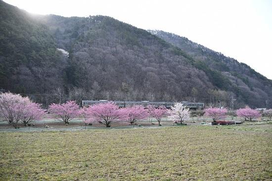 2020年4月26日撮影 辰野線 花桃と1151M 211系